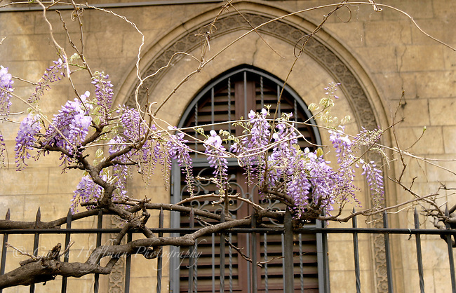 Wisteria vine in bloom on iron fence in front of arched window. Rome, Italy