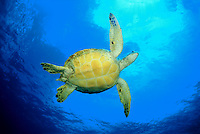 The underside of a green sea turtle Chelonia mydas on its way to the surface for a breath. Hawaii.