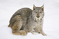 Canada Lynx (lynx canadensis) sitting on a snowy hill near Kalispell, Montana, USA - Captive Animal