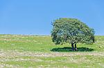 Lone tree in a field, near Derwent Bridge, Tasmania, Australia
