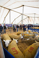 Pedigree Texel rams being sold at Kelso Ram Sales<br /> &copy;Tim Scrivener Photographer 07850 303986<br />      ....Covering Agriculture In The UK....
