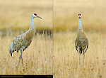 Sandhill Crane in Fall Plumage, Frontal and Quarter Portraits, Yellowstone National Park, Wyoming