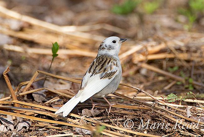 Chipping Sparrow (Spizella passerina), leucistic individual, spring, New York, USA
