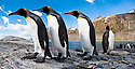 King Penguins (Aptenodytes patagonicus) at breeding colony. Gold Harbour, South Georgia, South Atlantic. (digitally stitched image)