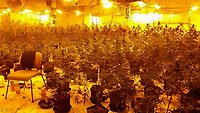 COPY BY TOM BEDFORD<br /> Pictured: The cannabis plants in Salem Chapel which was used by Jehovah's Witnesses<br /> Re: A cannabis factory with almost 800 plants has been discovered inside an iconic Merthyr Tydfil chapel which was being used by Jehovah's Witnesses.<br /> Unbeknown to nearby residents, the building on Newcastle Street - a prominent landmark in the town since it was built in 1856 - was housing 769 cannabis plants.