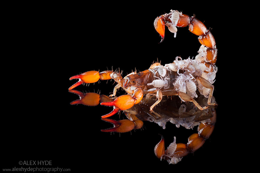 Scorpion {Bothriurus Picunche} mother with babies on her back. Photographed on black glass. Captive, originating from Chile.