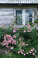 The weathered grey planks of the shed are a mass of pink climbing roses