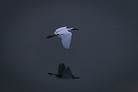 A Snowy egret in flight, gliding through the air while its reflection glides across the water below.