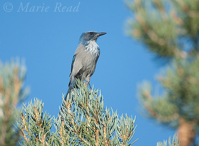 Western Scrub-jay (Aphelocoma californica), Mono Lake Basin, California, USA