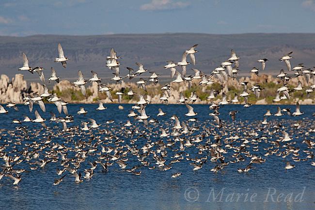 Wilson's Phalaropes (Phalaropus tricolor), flock in flight, Mono Lake, California, USA