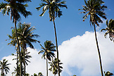 FRENCH POLYNESIA, Tahiti. Coconut trees along the blue sky.