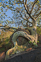 African Rock Fig tree hugging a big boulder