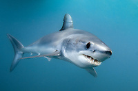 Shortfin Mako Shark (Isurus oxyrinchus). San Diego, California, USA, eastern Pacific Ocean