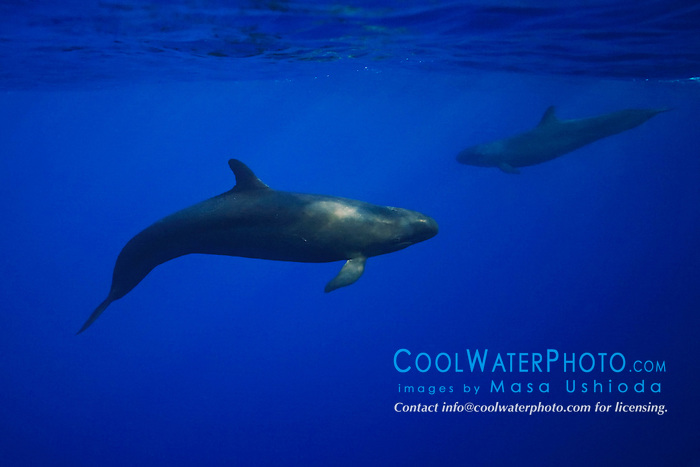 false killer whales, Pseudorca crassidens, off Kohala Coast, Big Island, Hawaii, USA, Pacific Ocean