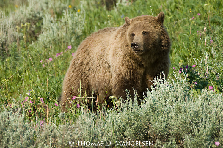 A grizzly bear stands among sagebrush and flowers in Yellowstone National Park, Wyoming