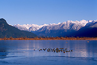 Pitt-Addington Marsh Wildlife Management Area at Pitt Lake, near Pitt Meadows and Maple Ridge, BC, British Columbia, Canada - American Coots (Fulica americana) Waterfowl swimming in Open Water near Grant Narrows Regional Park - Coast Mountains in Garibaldi Provincial Park beyond