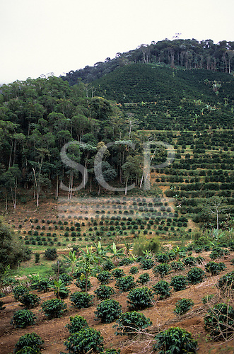Espirito Santo, Brazil. Hillside coffee plantation on Atlantic Rainforest (Mata Atlantica) land with some forest remaining.
