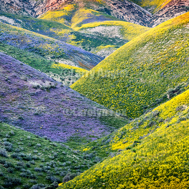 Lavender and golden wildflowers in a small canyon in the Temblor Range in spring on the east side of California Valley, San Luis Obispo County, Calif.