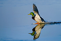 MALLARD DUCK (Anas Platyrhynchos) landing on pond surface.