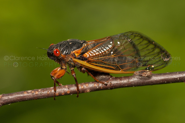 An adult 17-year periodical cicada (Magicicada septendecim) clings to a twig after emerging from its 17 year underground nymphal stage.  Brood II 17-year periodical cicadas emerged to breed in the spring of 2013 after last being seen in 1996.