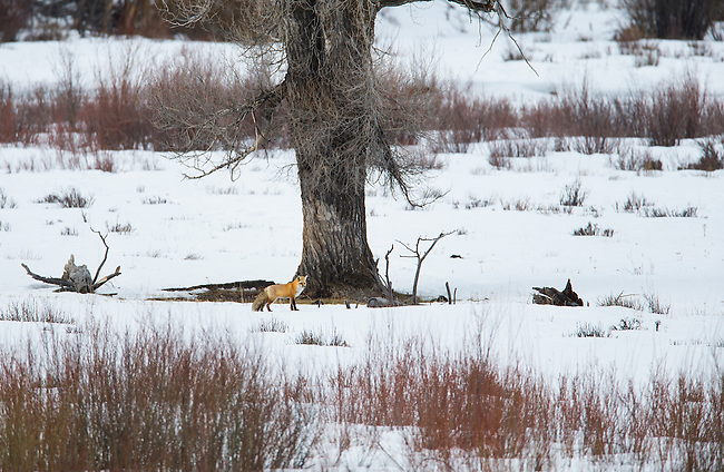 A fox hunts for voles near a cotton wood tree along the Lamar River in Yellowstone National Park in Wyoming, USA, on Feb 10th 2015.  Photo by Gus Curtis.
