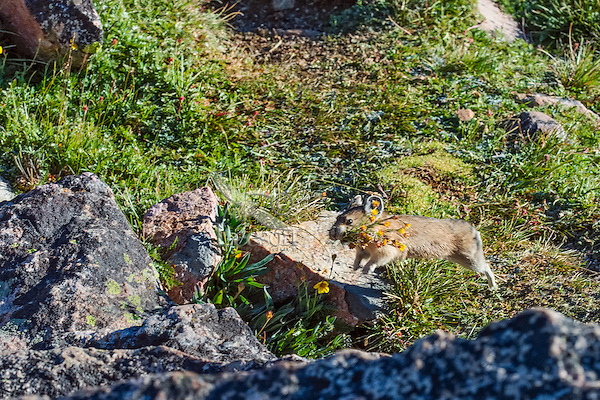 American pika (Ochotona princeps) running back toward one of its haypiles--winter food caches--with a mouthful of (I believe?) cinquefoil wildflowers.  Beartooth Mountains, Wyoming/Montana.  Summer.  This photo was taken in alpine setting at around 11,000 feet (3350 meters) elevation.