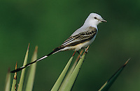 Scissor-tailed Flycatcher, Tyrannus forficatus,female on Trecul Yucca (Yucca treculeana), Starr County, Rio Grande Valley, Texas, USA