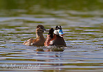 Ruddy Ducks (Oxyura jamaicensis) pair during courtship behavior, DeChambeau Ponds, Mono Lake, California, USA