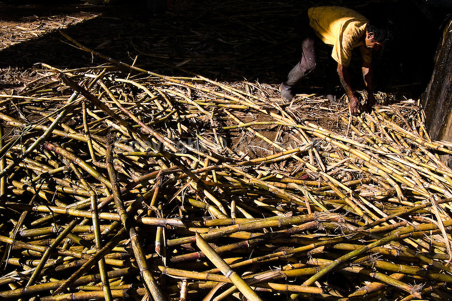 A Colombian peasant collects sugar cane stalks before processing of panela in a rural sugar cane mill (trapiche) in San Agustín, Colombia, 18 April 2004. Panela, a solid block of raw, unrefined sugar, is made by cooking and evaporation of the sugar cane juice into a golden, sticky syrup which is then poured into the wooden molds and allowed to solidify. Having the taste like a cross between molasses and brown sugar, panela is served as a hot or cold infusion (aguapanela). Due to the large amounts of proteins, vitamins and minerals and thus, panela is believed to have healing powers. Cheaper than sugar, it is consumed by the majority of Colombians and it is a major source of calories for children from families with low socioeconomic status. With more than 70,000 farms that cultivate sugarcane for mills, panela production is an important economic activity in the Colombian countryside, employing around 350,000 people and being the second largest source of jobs after agricultural coffee production.