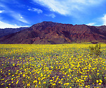 USA, California,  Death Valley National Park.  Death Valley Wildlfowers.  Desert Sunflowers.