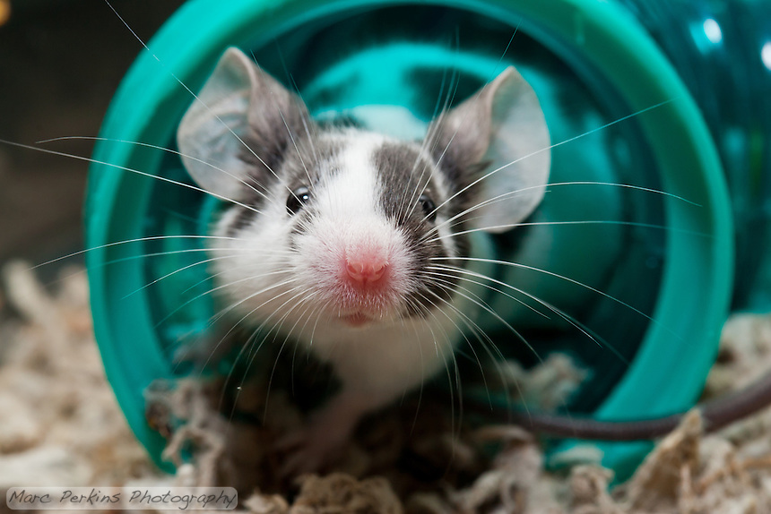 A white and black patched male mouse sniffs at what's outside his green tube.  The focus is dead on his adorable pink nose!