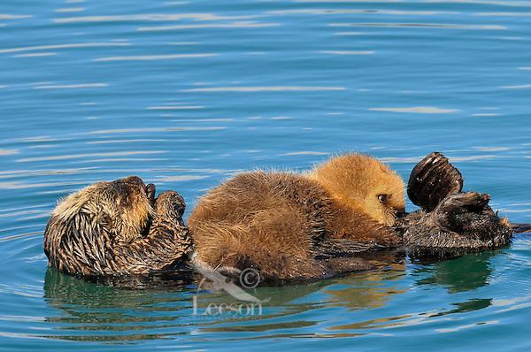 Very young Alaskan or Northern Sea Otter (Enhydra lutris) pup nurses.  Alaska.