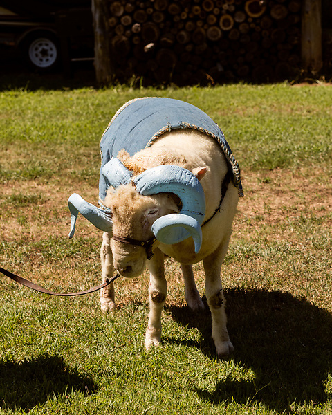 July 31, 2017. Chapel Hill, North Carolina.<br /> <br /> Rameses the Ram grazes outside the barn in which he lives. <br /> <br /> The Hogan family have long been the caretakers of Rameses the Ram. The current Rameses is the 21st in the line of the University of North Carolina's live mascot.