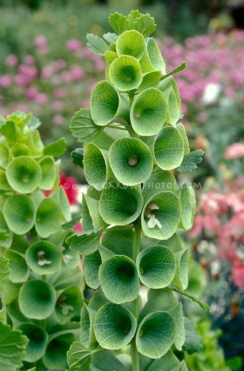 Bells of Ireland in green flowers bloom Moluccella laevis, Irish celebration