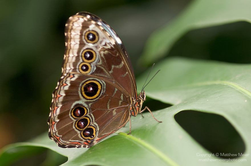 La Guacima de Alajuela, Costa Rica; a Blue Morpho Butterfly (Morpho peleides) sits on a leaf , Copyright © Matthew Meier, matthewmeierphoto.com All Rights Reserved