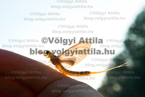 A long-tailed mayfliy (Palingenia longicauda) sits on the hand of an onlooker during their swarming on the river Tisza in Tiszainoka (some 135 km south-east from Budapest), Hungary on June 12, 2011. ATTILA VOLGYI