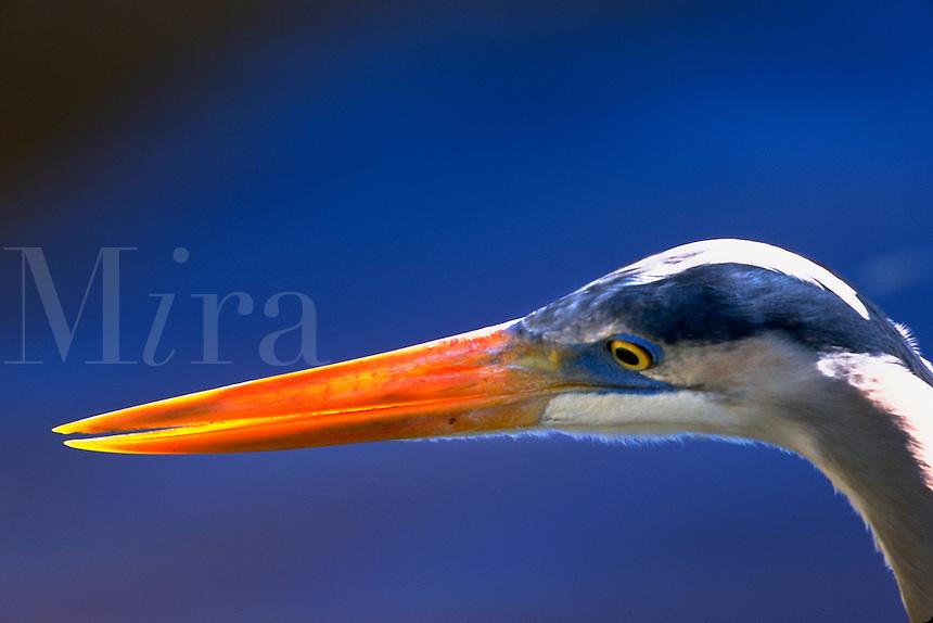 Great Blue Heron head close-up, backlit beak. Orlando Florida.