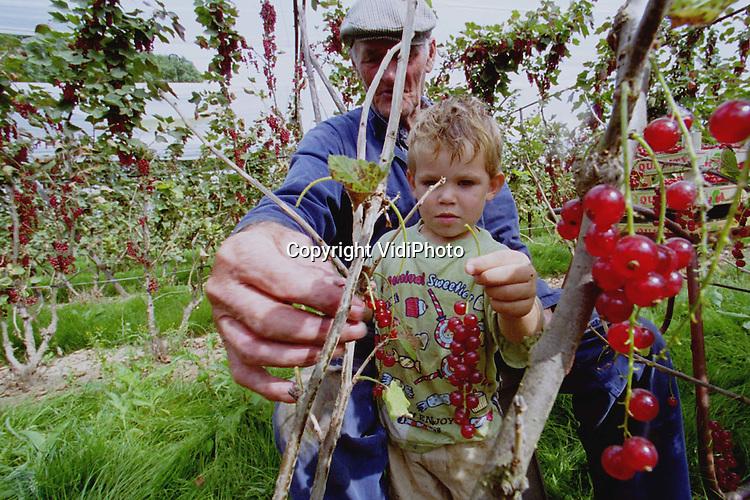 Foto: VidiPhoto..KESTEREN - Net als veel van zijn collega's, moet ook fruitteler P. Vermeer uit Kesteren zo'n 70 procent van de bessenoogst weggooien. Hoewel de trossen vol hangen met dikke bessen, is een groot deel verrot door de vele regen of de opslaande dauw. Het verwijderen van de rotten bessen kost veel tijd. De prijs op de veiling vergoedt veel: die ligt rond de 10 gulden per kilo. Foto: De tweejarige Jan-Hendrik helpt opa Vermeer met bessenplukken. De peuter is van 's morgens vroeg tot 's avonds laat in het fruit te vinden.