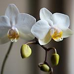 Brussels-Belgium - April 12, 2016 -- Blossoms of an orchid -- Photo: © HorstWagner.eu