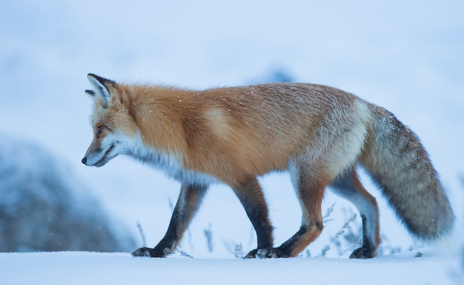 A fox listens for voles under the snow in Yellowstone National Park in Wyoming, USA, on Feb 10Th 2015.  Photo by Gus Curtis.