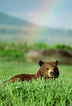 A brown bear in field of tall grass with a rainbow in the background, Alaska, USA.