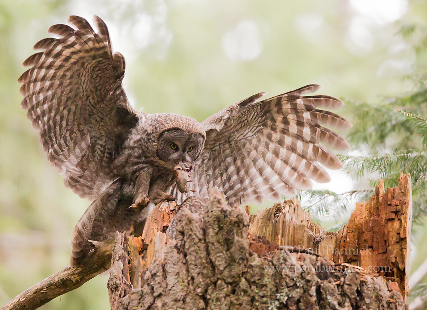 A male Great Gray delivers a gopher to her mate waiting at the nest with the nestlings.