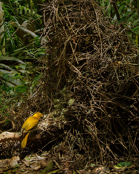 Golden Bowerbird arranging Bower<br />