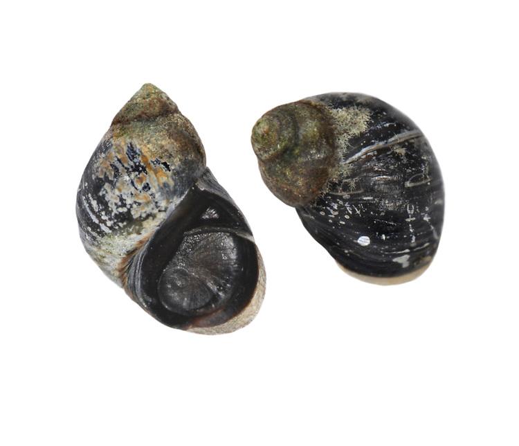 small periwinkle<br /> Littorina neritoides