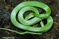 1R04-081b  Smooth Green Snake -  Opheodrys vernalis