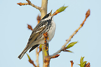 Adult male Blackpoll Warbler (Dendroica striata) in breeding plumage singing. Seward Peninsula, Alaska. June.