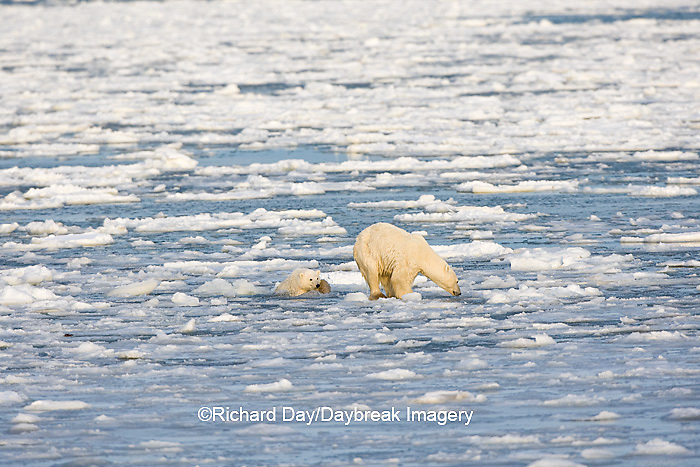 01874-12118 Polar Bear (Ursus maritimus) mother and cub jumping on ice in Hudson Bay  in Churchill Wildlife Management Area, Churchill, MB Canada
