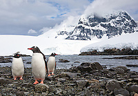 Three Gentoo penguins emerged from the water and walked toward me at Port Lockroy on the Antarctic Peninsula of Antarctica.