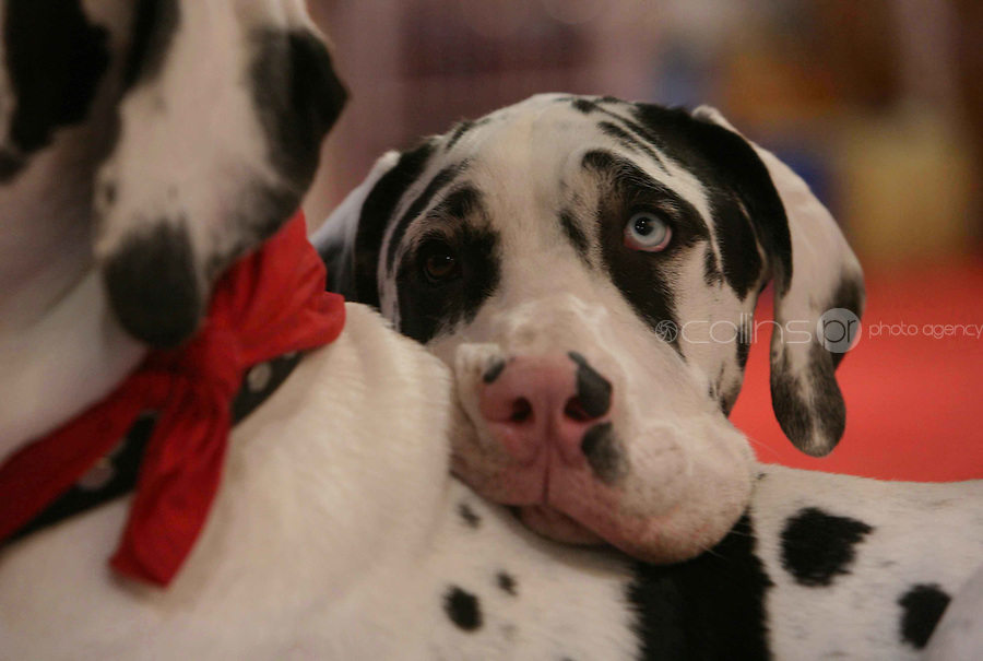 16/10/2008.Harley the Great Dane at the K9 Komfort Stall  at the Pet Expo in the RDS, Dublin..Photo: Gareth Chaney Collins