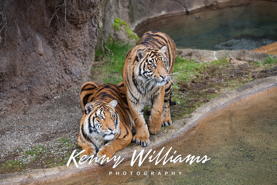 Two Rare Sumatran Tigers, classified as critically endangered, Point Defiance Zoo & Aquarium, Tacoma, Washington State, WA, USA.